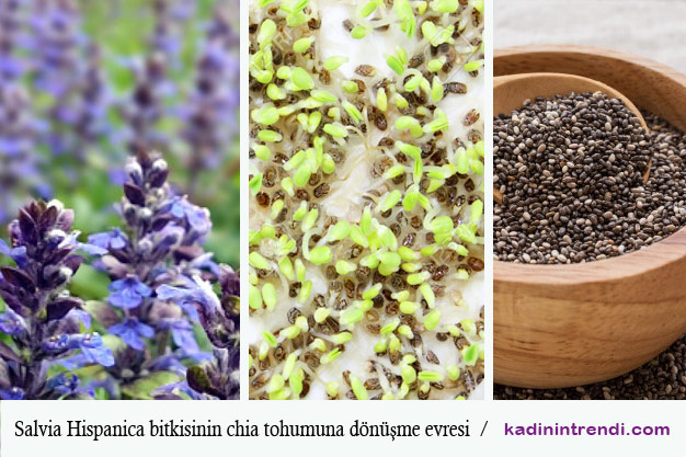 Salvia Hispanica- Chi Tohumu ve faydaları